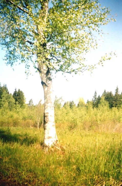 Die birke im frühling